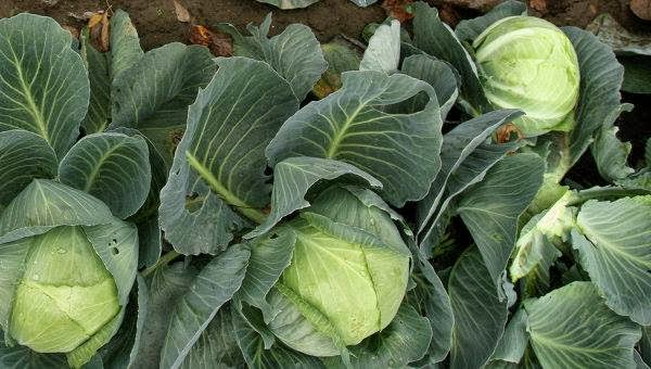 λαχανο-2