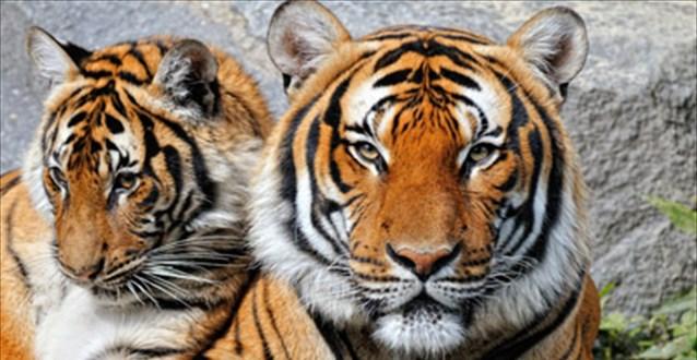 tigreis
