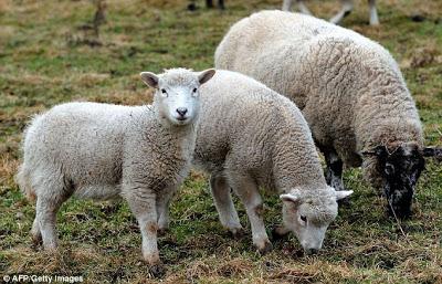 24 προβατα