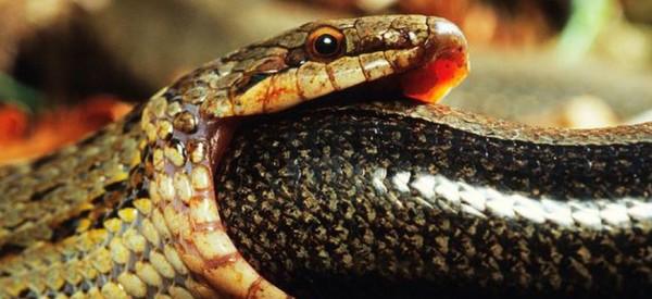ΑΝΑΤΡΙΧΙΑΣΤΙΚΟ: Φίδι καταπίνει ένα άλλο φίδι - Θα σας κοπεί η ανάσα!