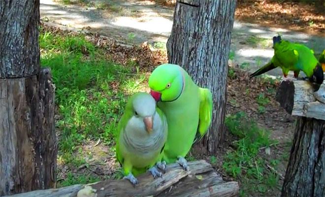 papagalos-prospathei-na-flertarei-mia-thylikia