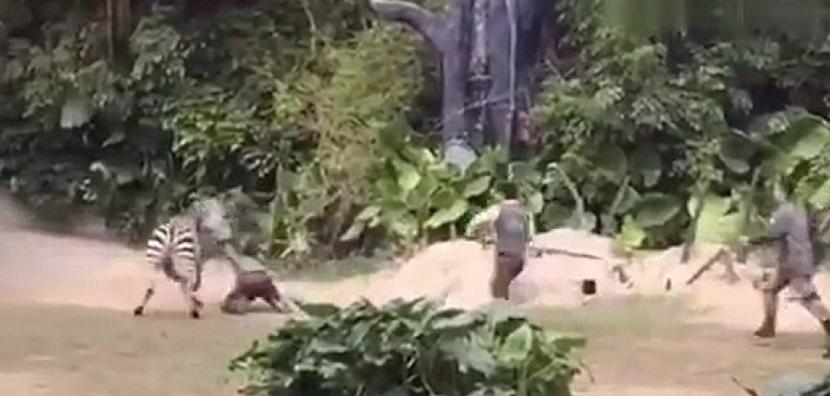 Η ΣΟΚαριστική επίθεση ζέβρας σε εργαζόμενο ζωολογικού κήπου! ΔΕΙΤΕ το ΒΙΝΤΕΟ που κάνει το γύρο του διαδικτύου!