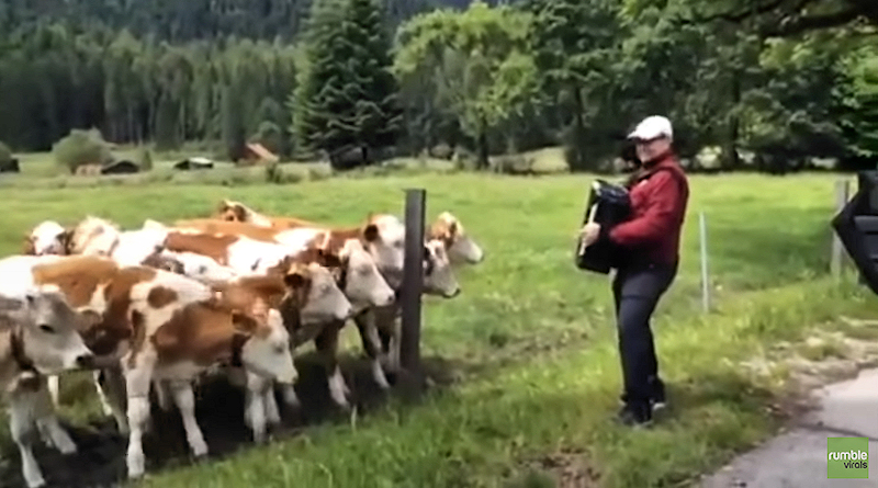 accordion-cows