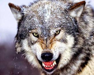 λυκος αγριεμενος