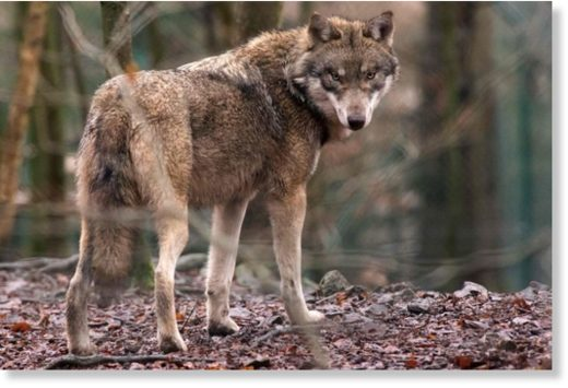 germany_animal_wolf_100426
