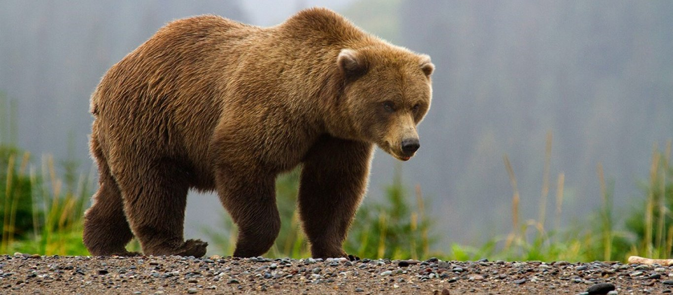 image-w-cred-cap_-1200w-_-brown-bear-page_-brown-bear-in-fog_2_1