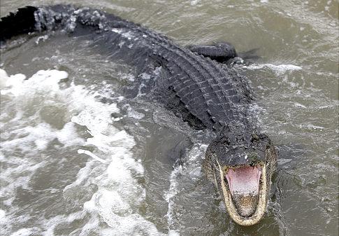 αλιγατορας