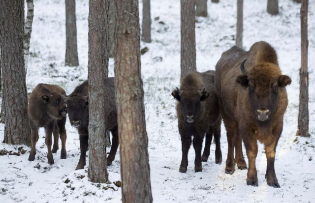 European bisons are seen in a forest of the Nalibokskaya Pushcha Reserve, near the village of Rum, west of Minsk, January 6, 2015. The bison, a national symbol of Belarus, is the largest wild animal in the country, and several dozens of them live in this reserve, which has the largest forest in Belarus.  REUTERS/Vasily Fedosenko (BELARUS - Tags: ANIMALS)