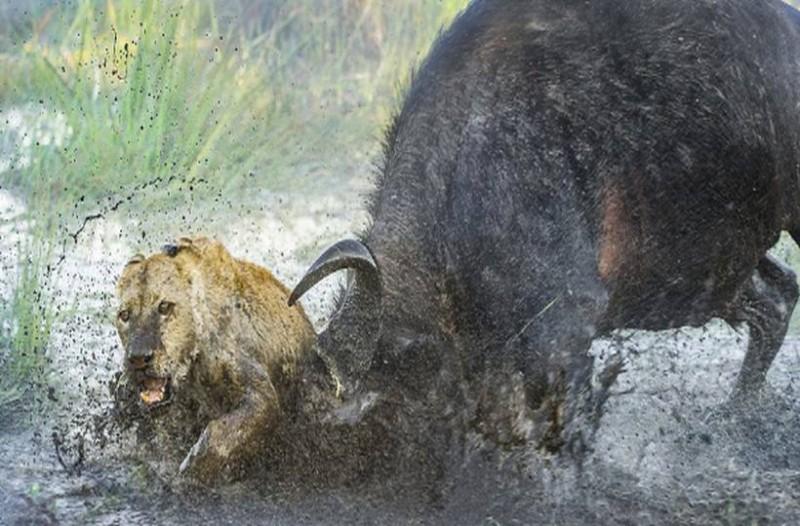 lions4
