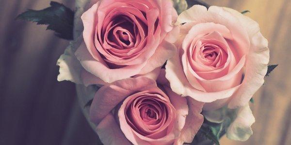 rose-3072698_1920_1
