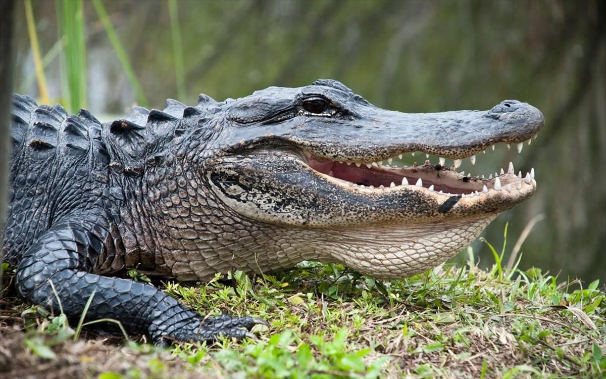 aligatoras-krokodeilos