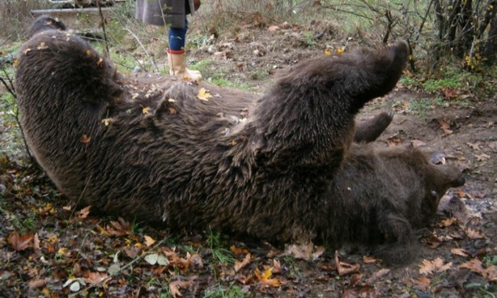 αρκουδα σκοτωμενη