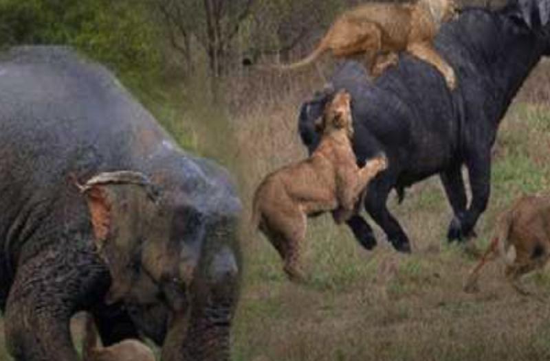 liontari_elefantas_vouvali