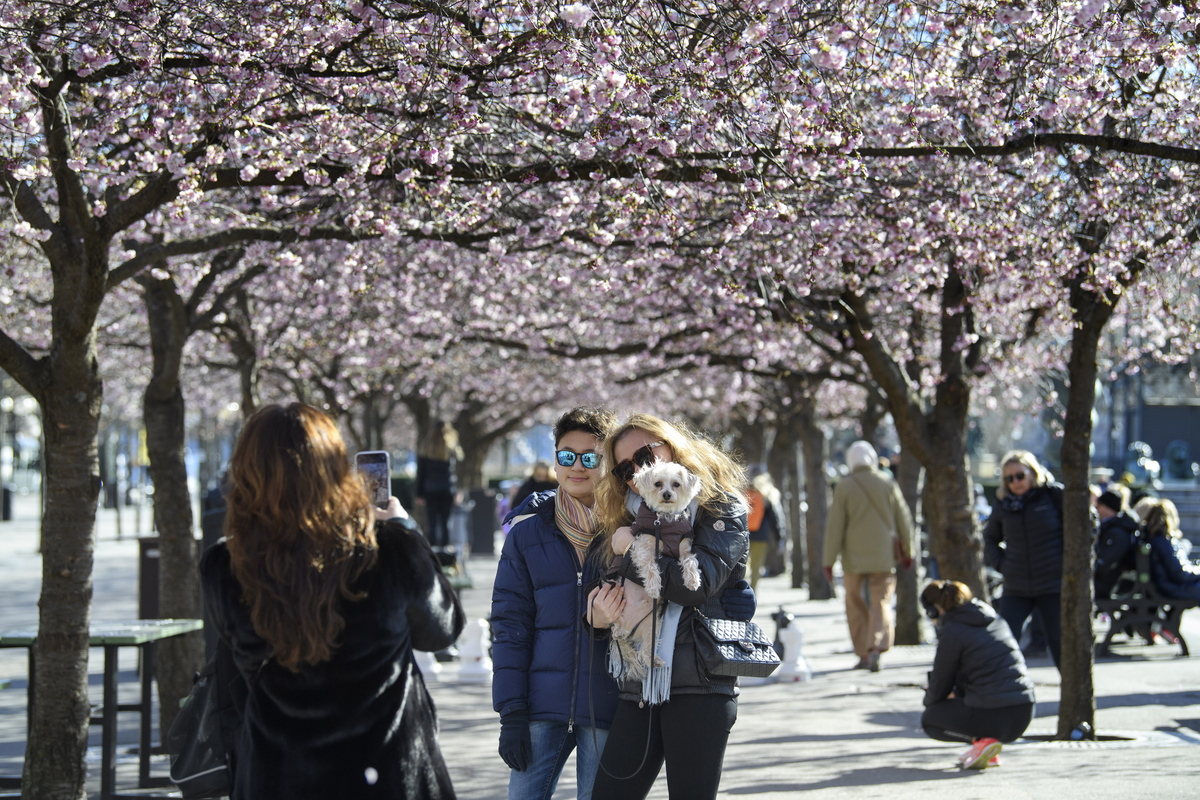 epa08313749 People take photos among blooming cherry trees in Kungstradgarden park in Stockholm, Sweden, on March 22, 2020. Many people enjoyed the sunny but chilly weather, amidst the new coronavirus COVID-19 pandemic.  EPA/Jessica Gow  SWEDEN OUT
