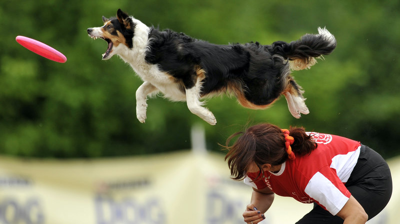 A border collie jumps to catch a flying disc during a competition. New research suggests that dog stress mirrors owner stress, especially in dogs and humans who compete together.