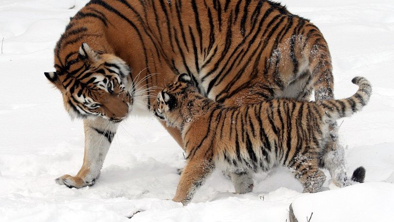tigris_pixabay