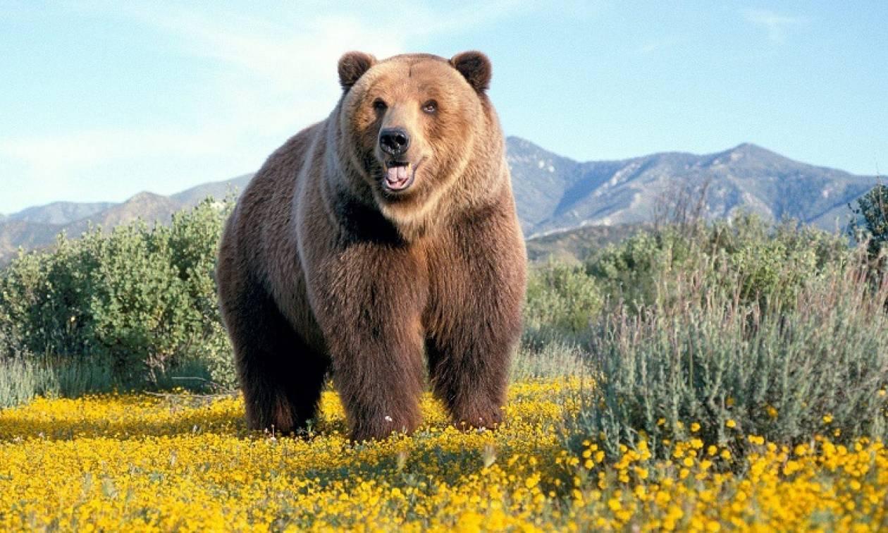 αρκούδα καφέ
